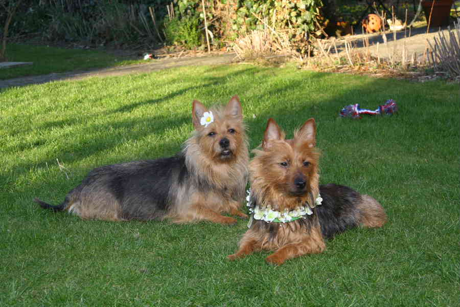 Australian Terrier Beverly Jumpers mit Mutter Eira von den Lausbuben