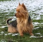 Australian Terrier Jumpers Every Day Funny