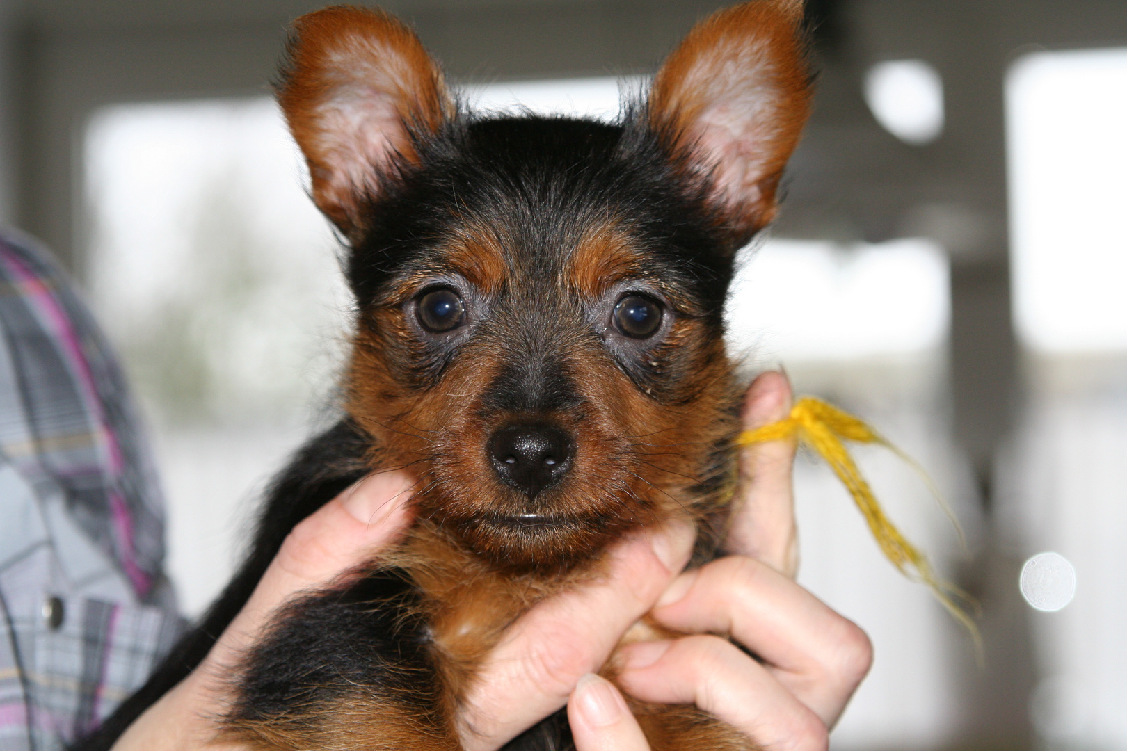 Australian Terrier Jumpers Fairytale