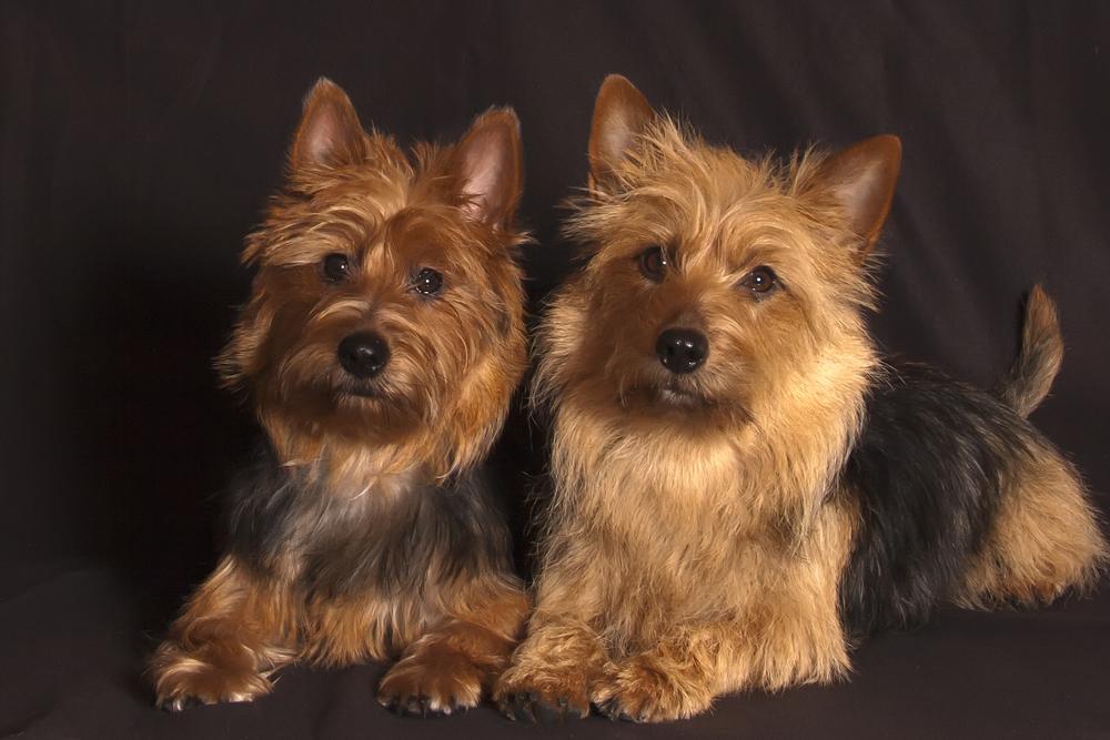 Australian terrier - Svea und Silja
