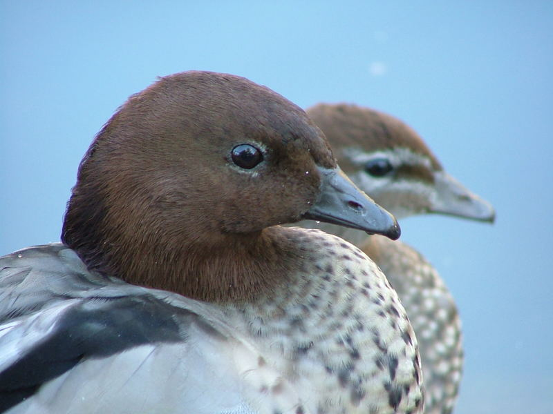 Australian Wood Ducks