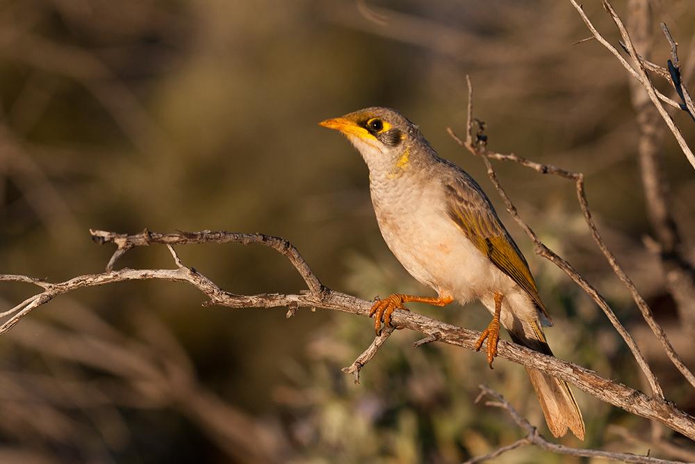 Australien Bird