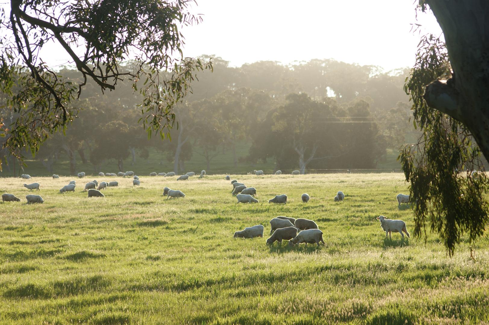 Australien Sheeps