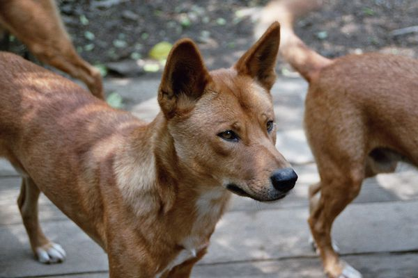 Australische Dingos die 1.