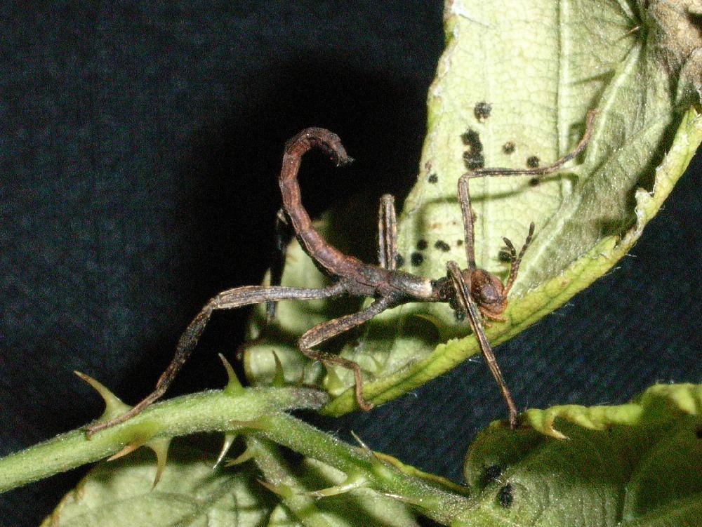 Australische Gespensterschrecke (2 Wochen alt) Makro