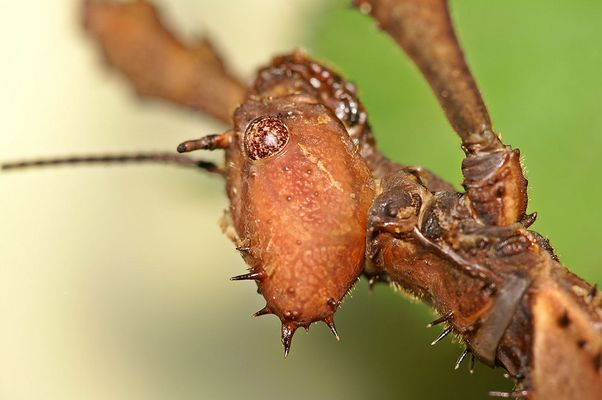 Australische Gespensterschrecke