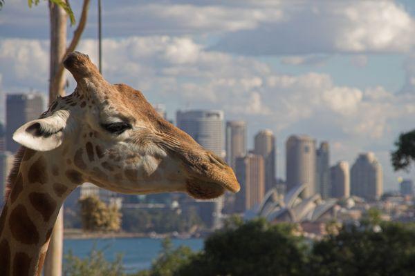 Australische Giraffe ;-)