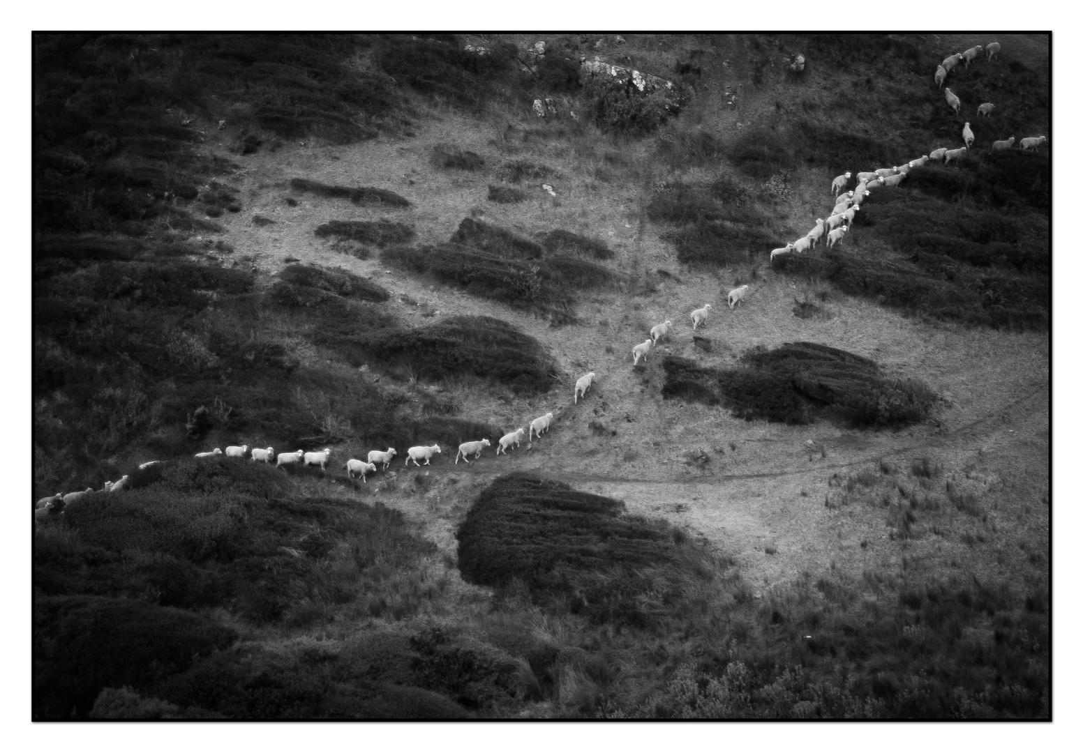 Australische Schafe in Englischer Tradition