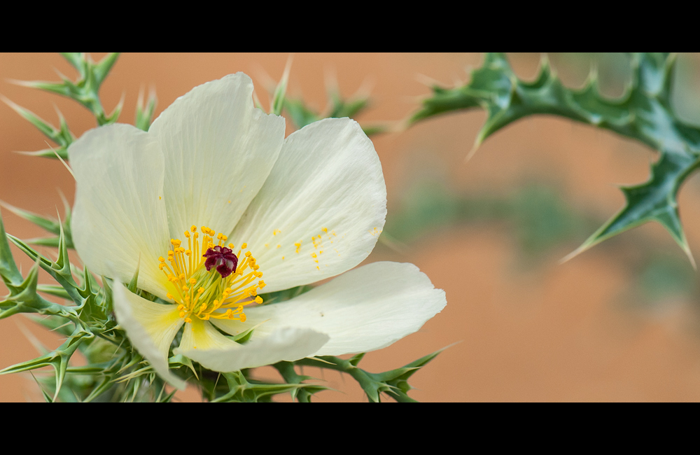 Australische Wildpflanzen III