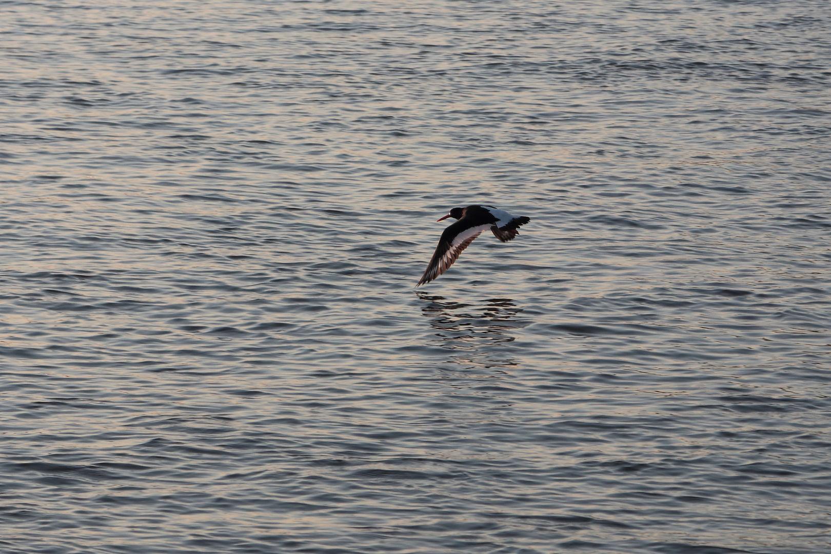"""Australischer Austerfischer die """"zweite"""" in Monheim am Rhein."""