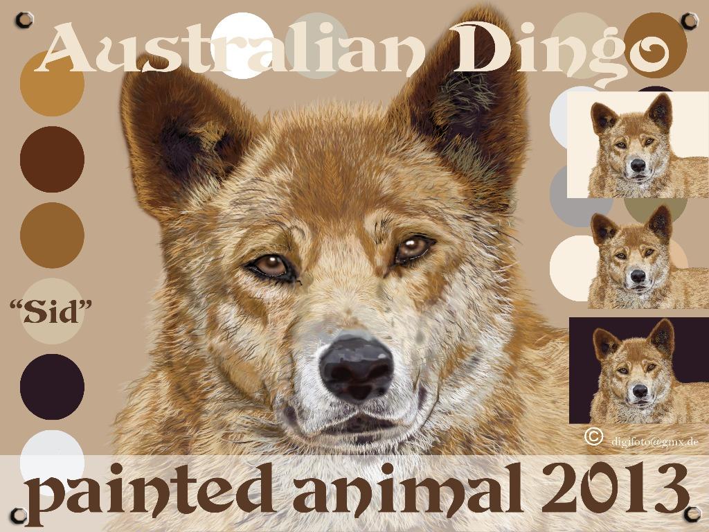 Australischer Dingo Sid