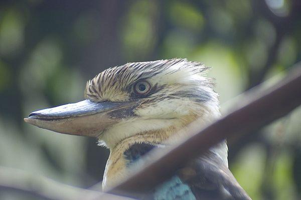 Australischer Eisvogel