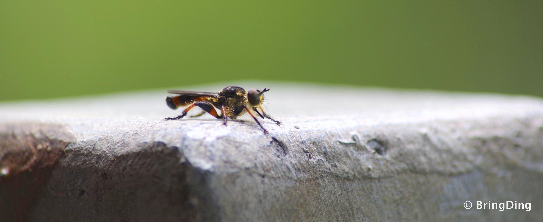 Australisches Insekt im Daintree Rainforest