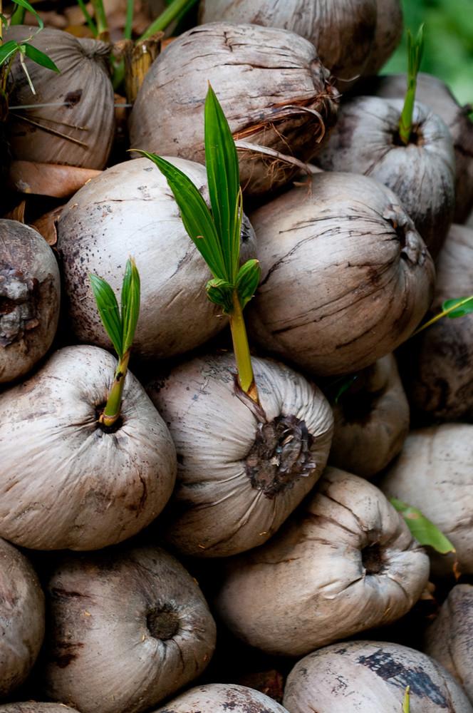 Austreibene Kokosnüsse