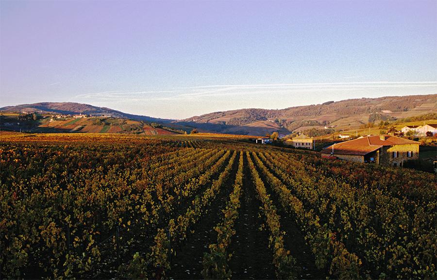 Automne dans les vignes du Beaujolais 1