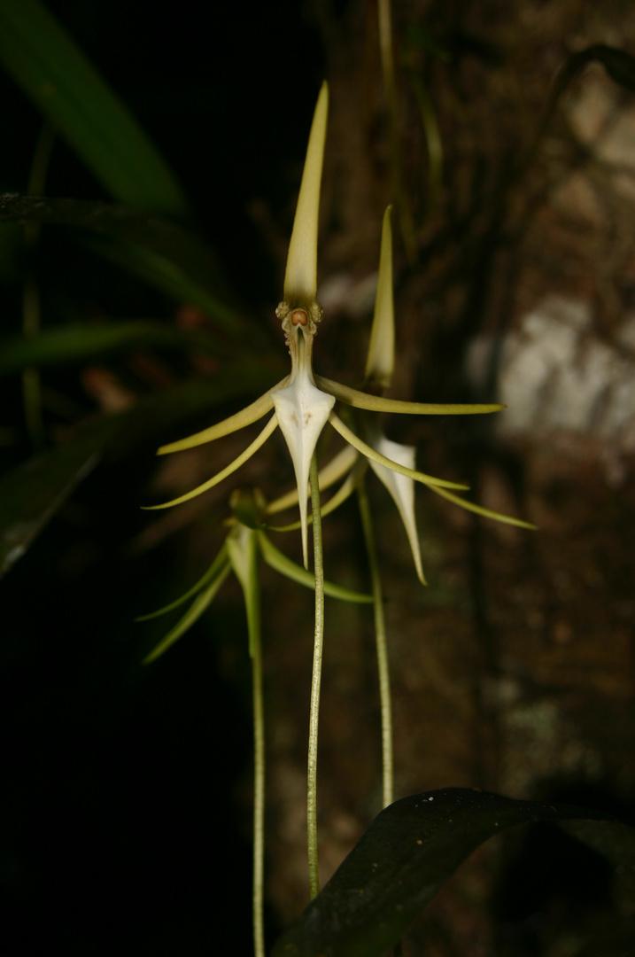 autre forme d'orchidée blanche