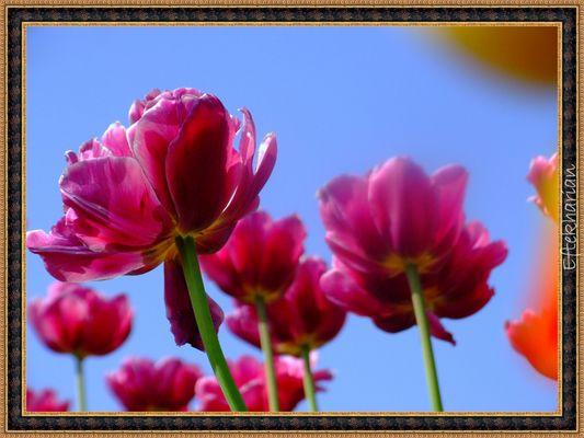 autre tulipe