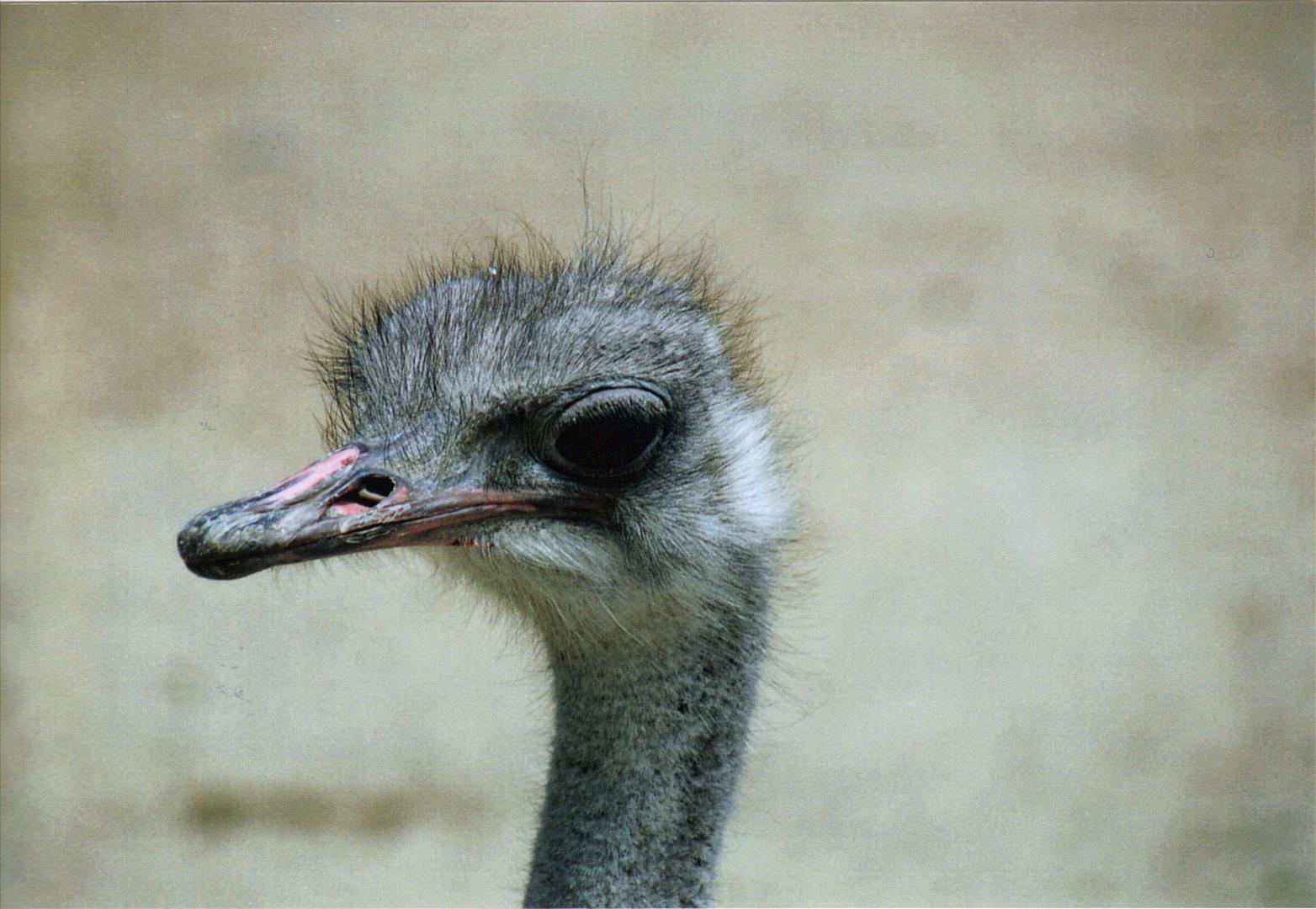 autruche, zoo de la palmyre