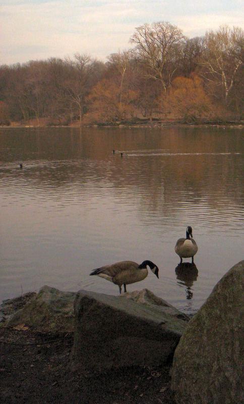 Autumn Geese
