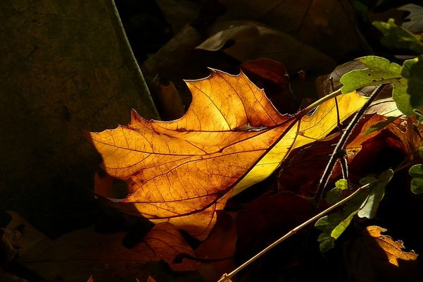 Autumn leaf (2)