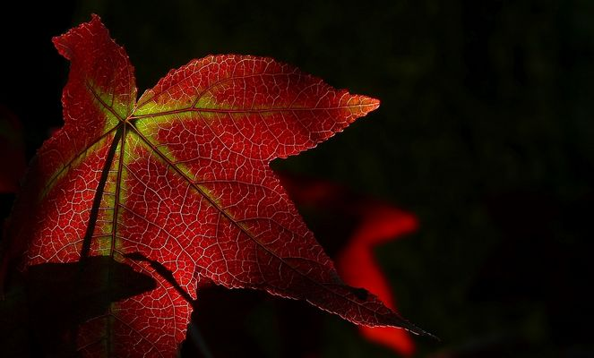 Autumn Leaf (6)