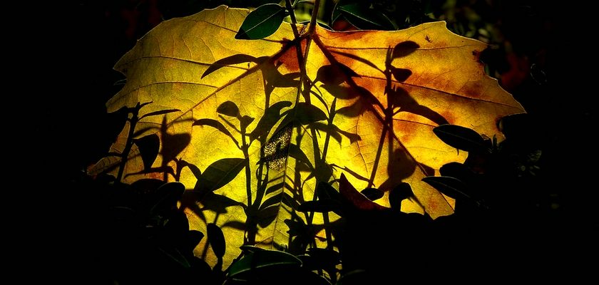Autumn leaf (9)