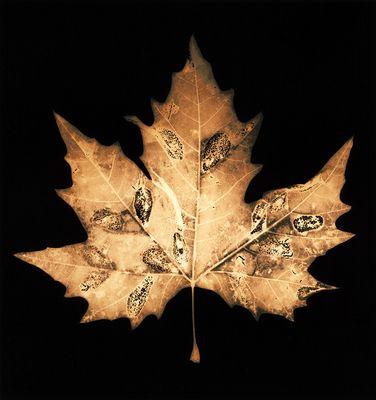 Autumn Leaves #13 Maple Leaf