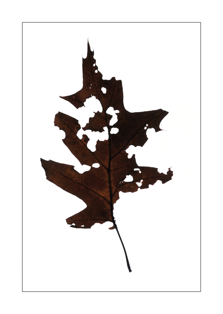 Autumn Leaves #3 (Pencile of Nature)