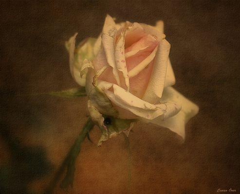 Autumn Rose...