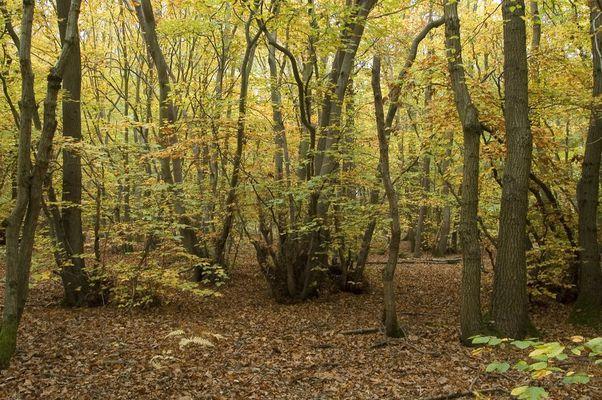 Autumn Woods, Dargate