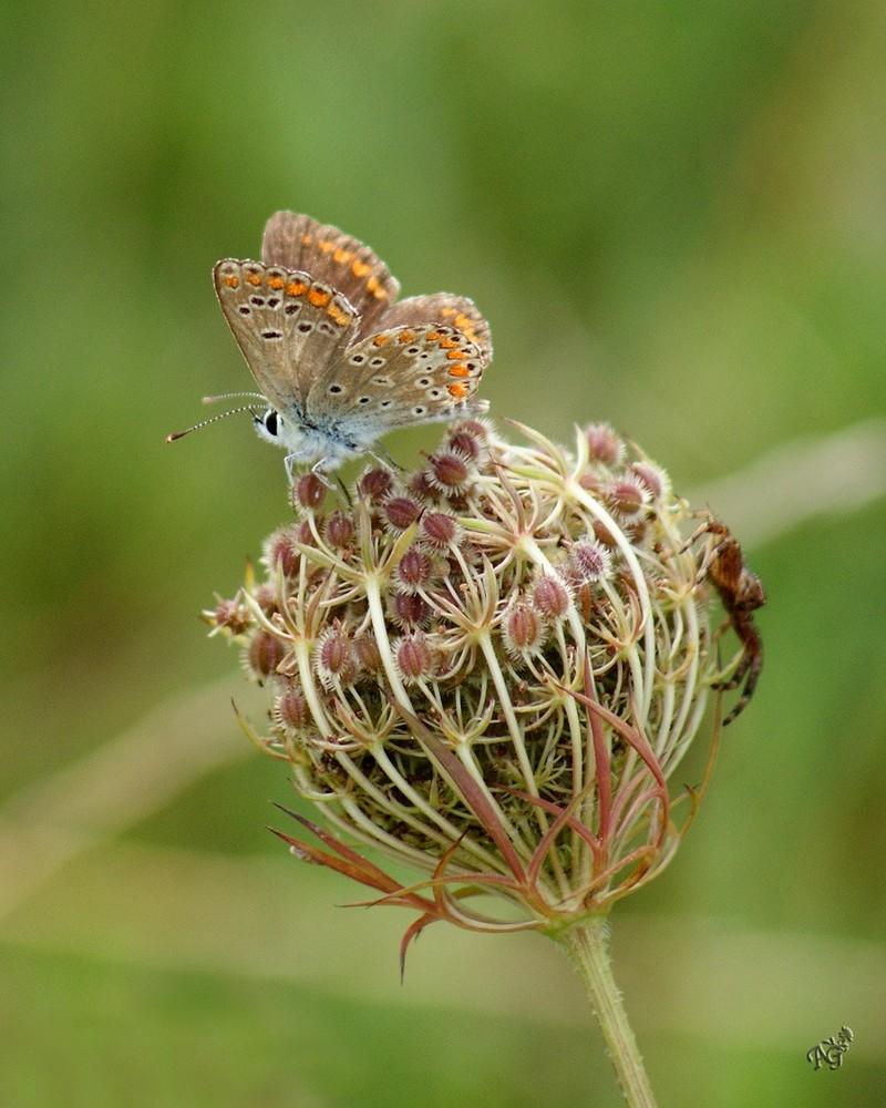 Avec la fin de l'été.... la fin des papillons ....