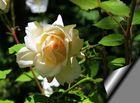 avec une rose!