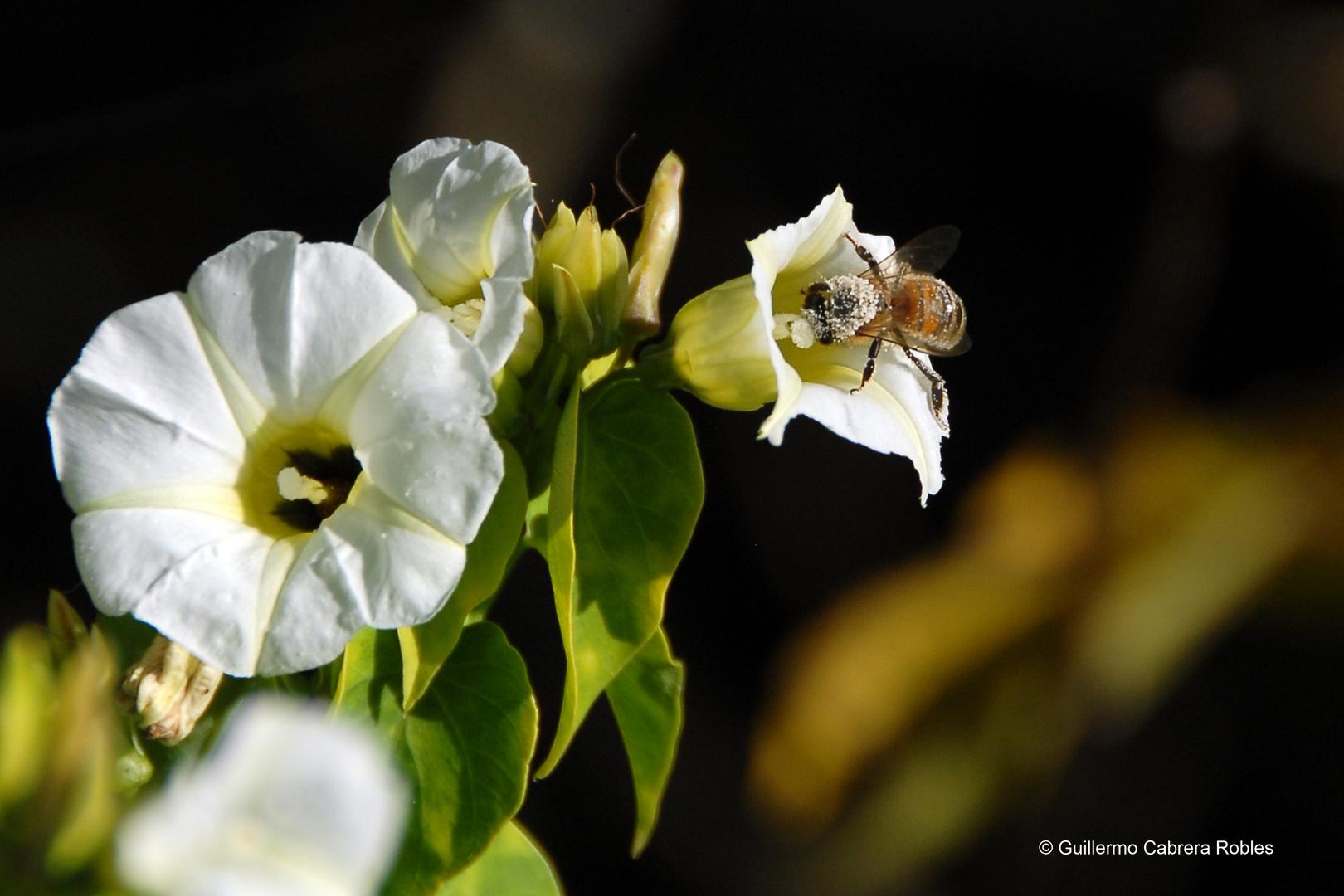 Aveja con polen