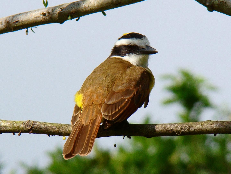 Aves de Honduras