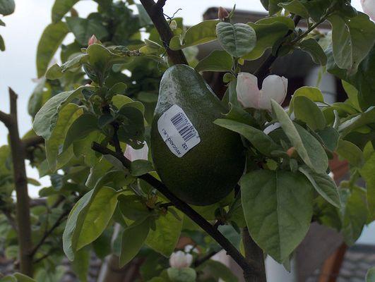 Avocadobaum?
