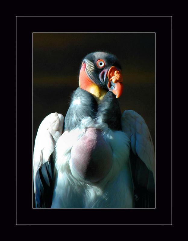 Avvoltoio.....