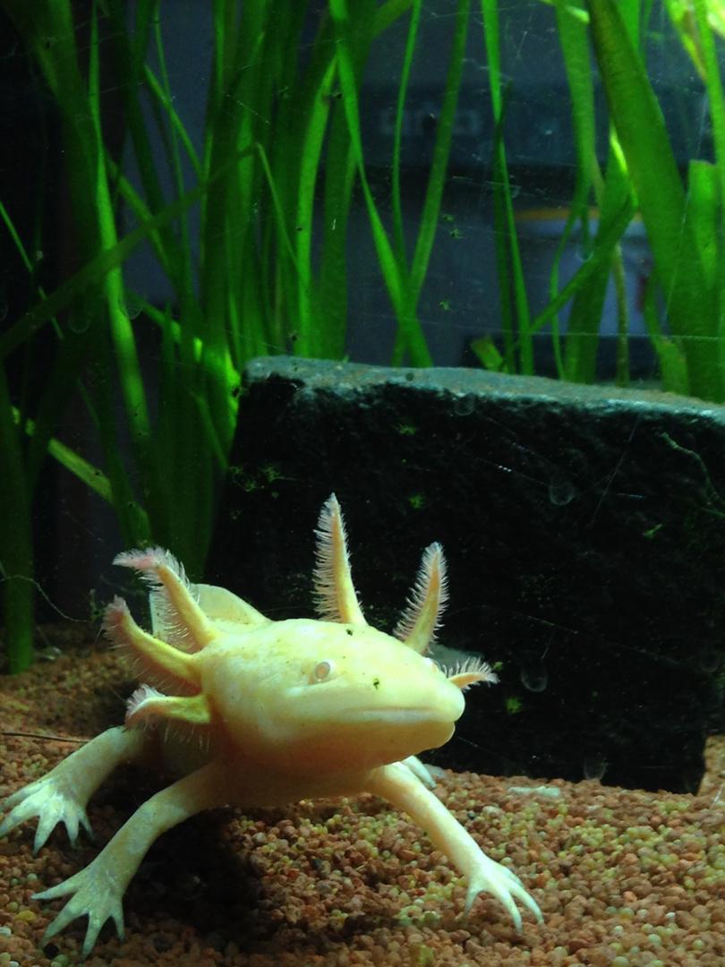Axolotl - ein seltsames Wesen...