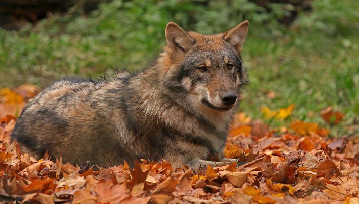 Ayasha im Herbstlaub