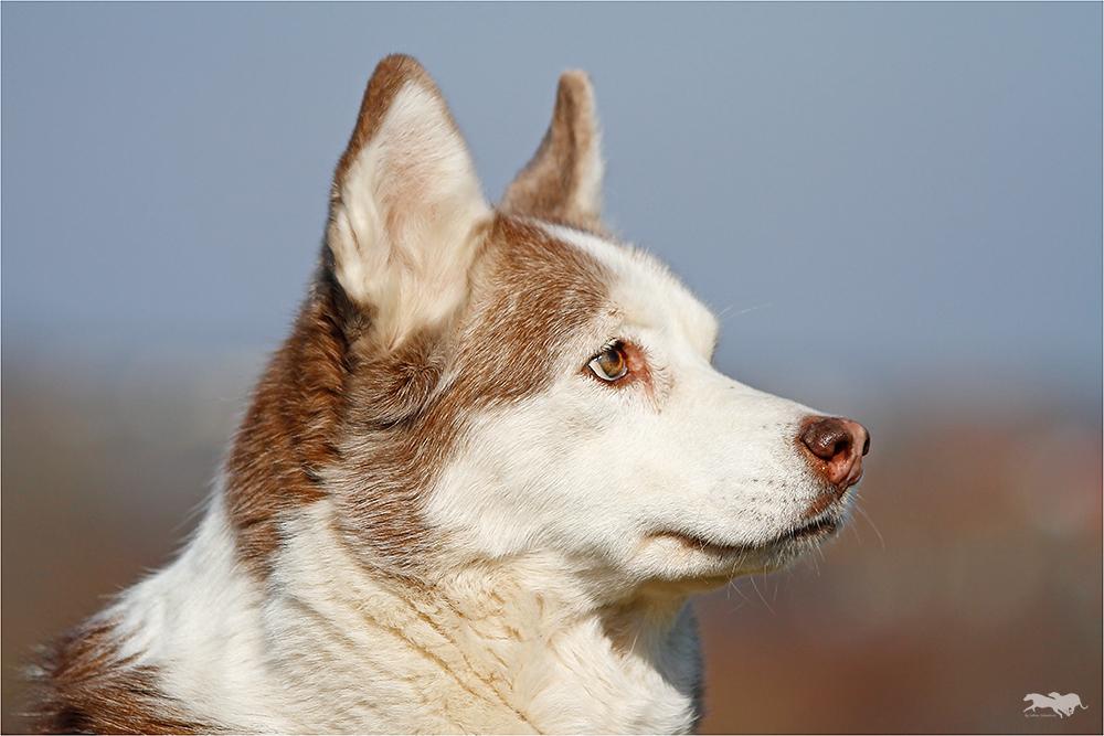 Aysha, eine ältere Siberian Husky Hündin