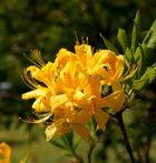 azalea molis