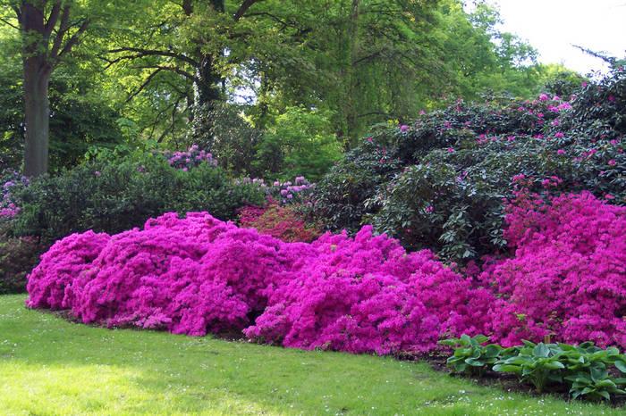 Azaleen im Rhododendronpark Bremen