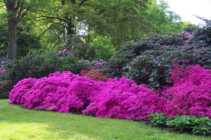 azaleen im rhododendronpark bremen foto bild pflanzen. Black Bedroom Furniture Sets. Home Design Ideas