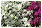 Azaleen in bester Blüte