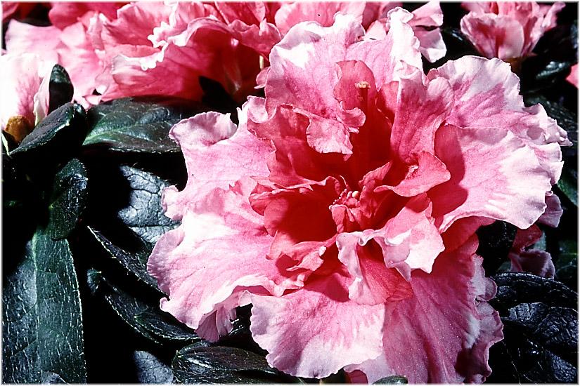 Azaleenblüte