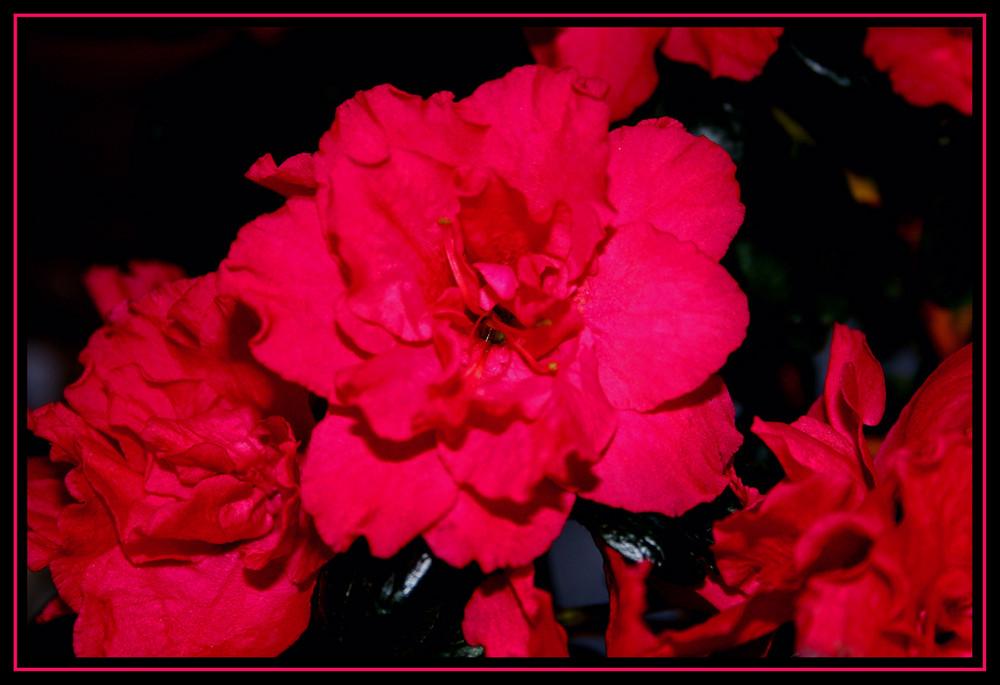 Azaleenblüten