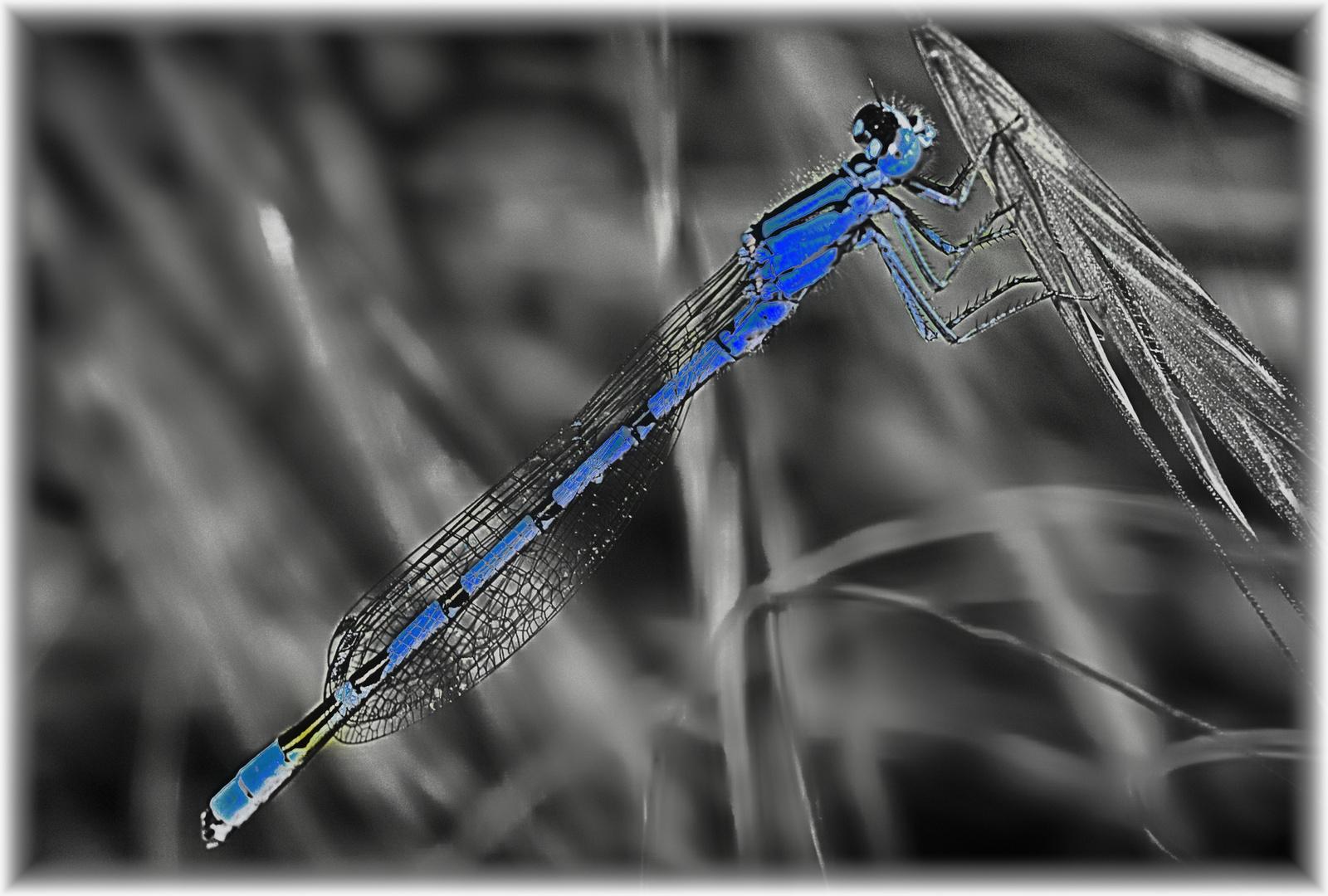 Azul de Libélula