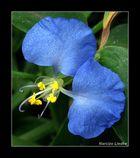 Azul V