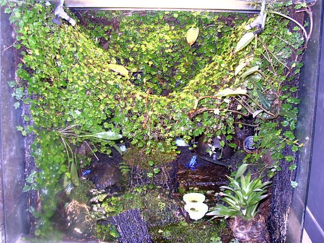 Azurblauer Baumsteiger im Terrarium
