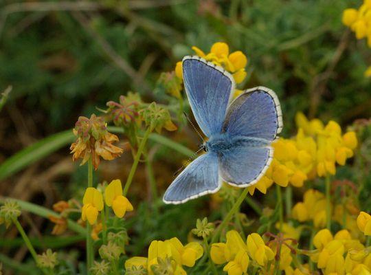 azuré bleu céleste (Lysandra bellargus)
