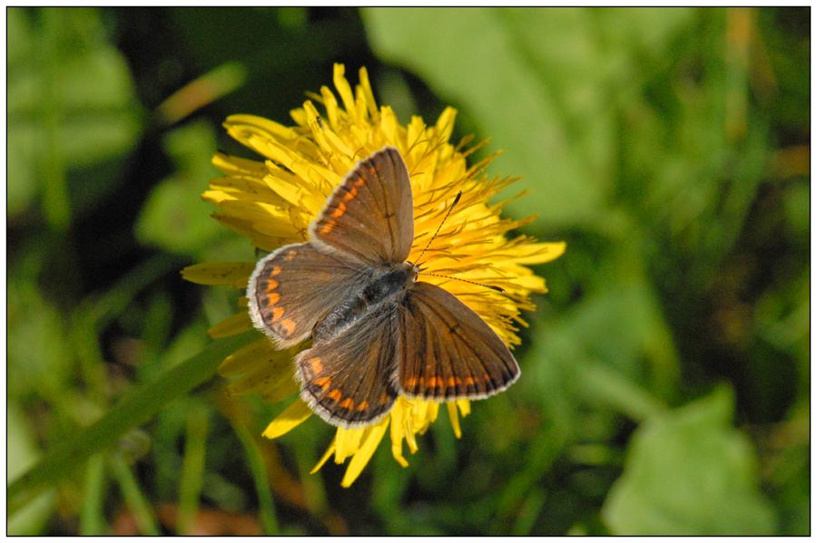 Azuré commun femelle